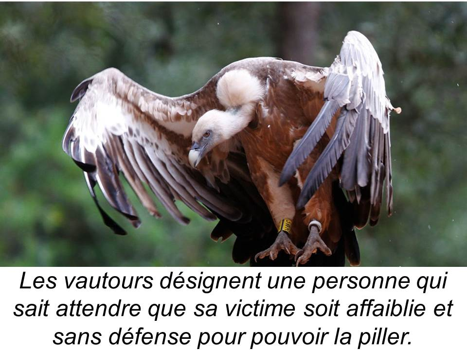 vautour-griffon
